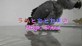 うめとおとたまのマジックショー♪ African grey, Ume and dad's Magic Show!