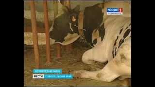 Качество молока буренок улучшают быки-иностранцы