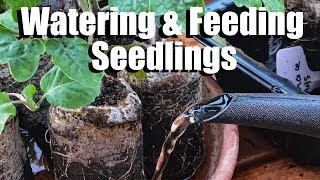 Watering and Fertilizing Vegetable Seedlings - When and How / Spring Garden Series #2