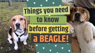 10 Things You Need To Know Before Getting A BEAGLE! [2020]