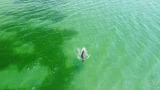 Игры дельфинов в изумрудном море на Кинбурнской косе показали с высоты (видео)