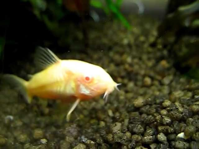 Albino Fische - Metallpanzerwelse im 200 Liter Aquarium - Corydoras aeneus - bronze catfish