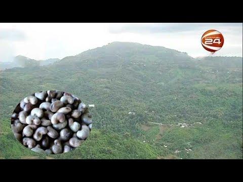 বান্দরবানের পাহাড়ি এলাকায় কাজু বাদাম চাষের উদ্যোগ