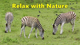 TV for Dogs : Dog Relaxation TV & Videos - Zebra Fun ~ Relax with Nature