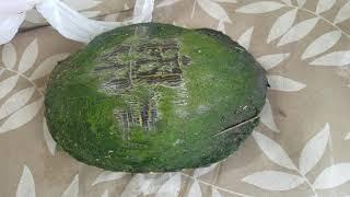 (Lucky Turtle )เต่านำโชค#เลขเด็ด#
