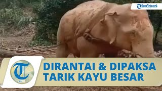 Viral Video Seekor Gajah Dirantai dan Dipaksa Tarik Kayu Besar di Tanah Berlumpur