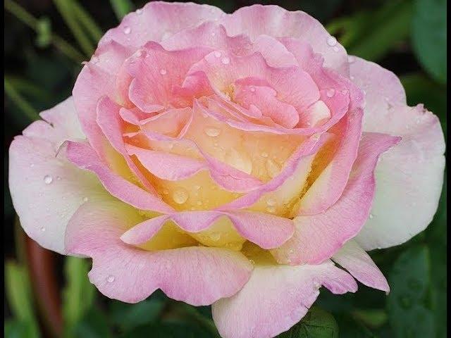 Чайно-гибридная роза ГЛОРИЯ ДЕЙ (Rose Gloria Dei)