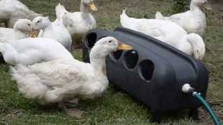 No-Mess Automatic Poultry Drinker