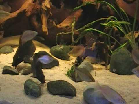 Neosilurus ater