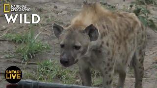 Safari Live - Day 311 | Nat Geo Wild