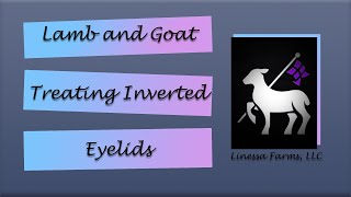 Inverted Eyelid in Lambs and Goats!?  Fix it FAST!