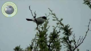 preview picture of video 'Monterita_Cabeza_Negra.mpeg'