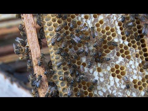 Abelhas estão morrendo em massa. Saiba os impactos para a vida humana