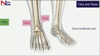 Tibia and Fibula in Hindi (हिंदी) | Lower Limb | Skeletal System | Nursing Lecture