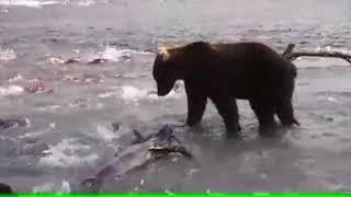 Ленивый медведь ловит рыбу