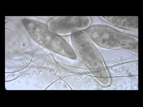Asexual reproduction in amoeba and hydraulic