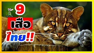 9สายพันธุ์เสือ ที่พบได้ในป่าประเทศไทย!! [สาระสัตว์โลก ขอเล่าตอนดึก]