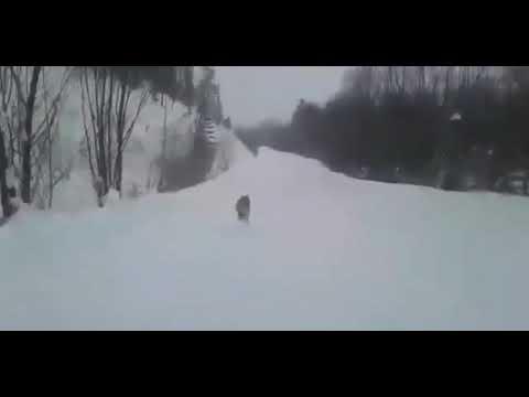 Погоня за волком на УАЗе. Водитель хочет задавить серого хищника