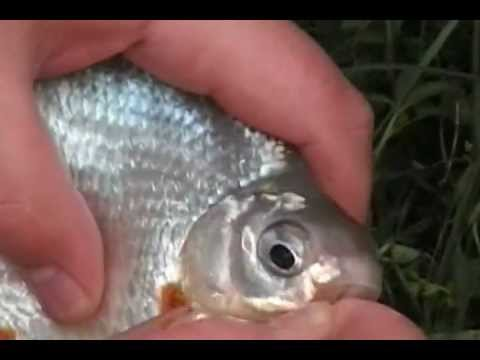 La verga per pescare in Kwok