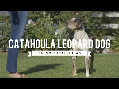 THE AMAZING LOUISIANA CATAHOULA LEOPARD DOG