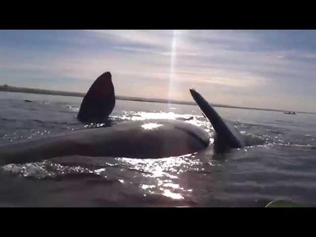 Kayak levantado por ballena en Puerto Madryn, Patagonia Argentina!