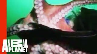 Giant Octopus Attacks Diver | Uncut Untamed