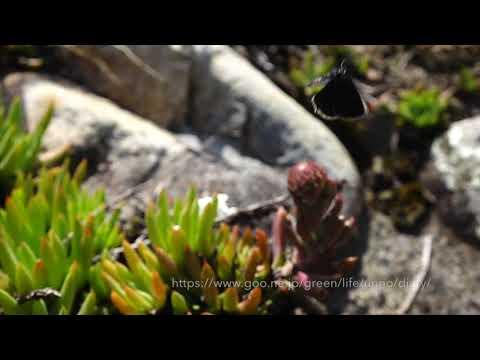 クロツバメシジミの飛翔 Tongeia fischeri