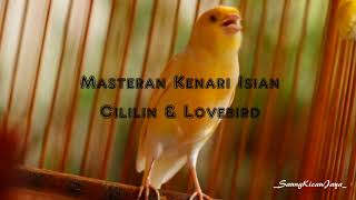 Masteran Burung Kenari Isian Cililin & Lovebird