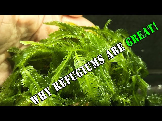 Refugiums: Why they are beneficial to a reef tank