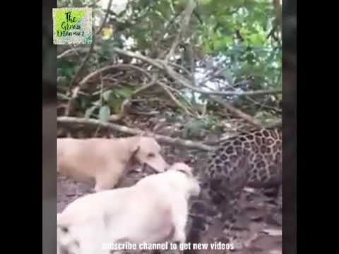 Dogs Attacking Leopard
