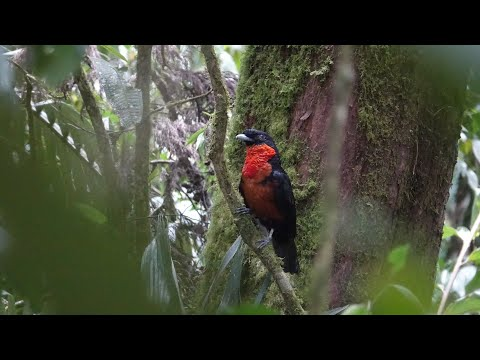 Birds of Central Colombia part three: Pereira and Otun Quimbaya nature reserve