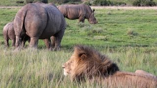Rhino vs Lion on African Safari