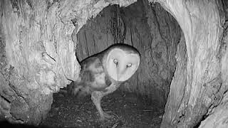 Mouse leaves cavity, Barn Owl comes home, checks attic ~ ©Audubon Starr Ranch