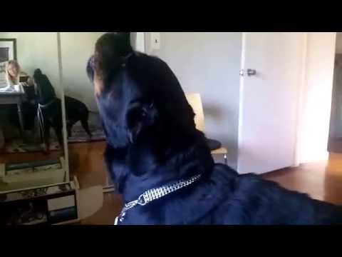 3 Howling Rottweilers To Fire Truck