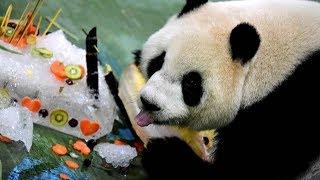 Taipei Zoo Celebrates Giant Pandas Birthday With Ice Cake