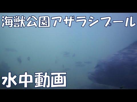 海獣公園アザラシプールの水中動画