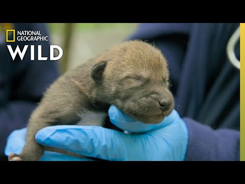 Newborn Red Wolf Puppies | Secrets of the Zoo