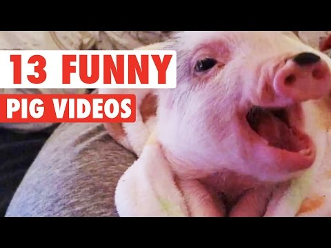 Hilarious Yet Adorable Pigs and Piglets