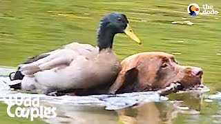 Duck Loves It When His Dog Brother Takes Him Swimming   The Dodo Odd Couples