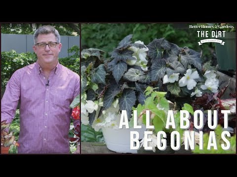 All About Begonias | The Dirt | Better Homes & Gardens