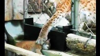 Рысёнок потерялся, но мама его нашла и вернула. Зоопарк Мюнхена (Германия)