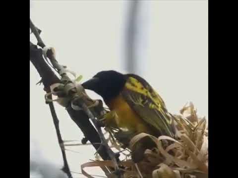 Kuş yuvası yapımı