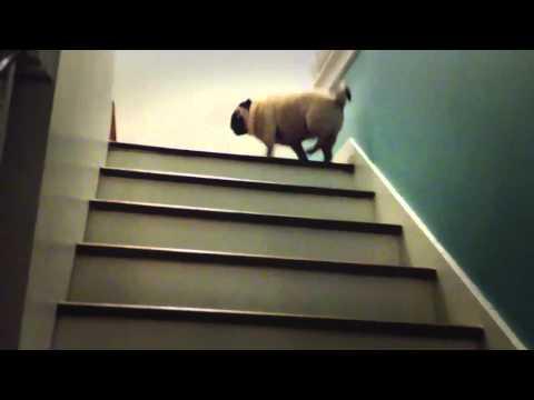 階段をぴょんぴょん飛び跳ねてのぼるパグ犬のムービー