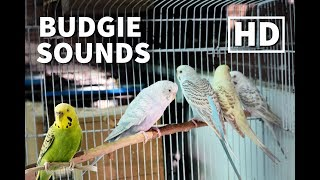 Download 1 Hour Of Budgie Sounds Parakeet Chirping Cute Amp