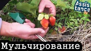Мульчирование КЛУБНИКИ соломой / Результат мульчирования