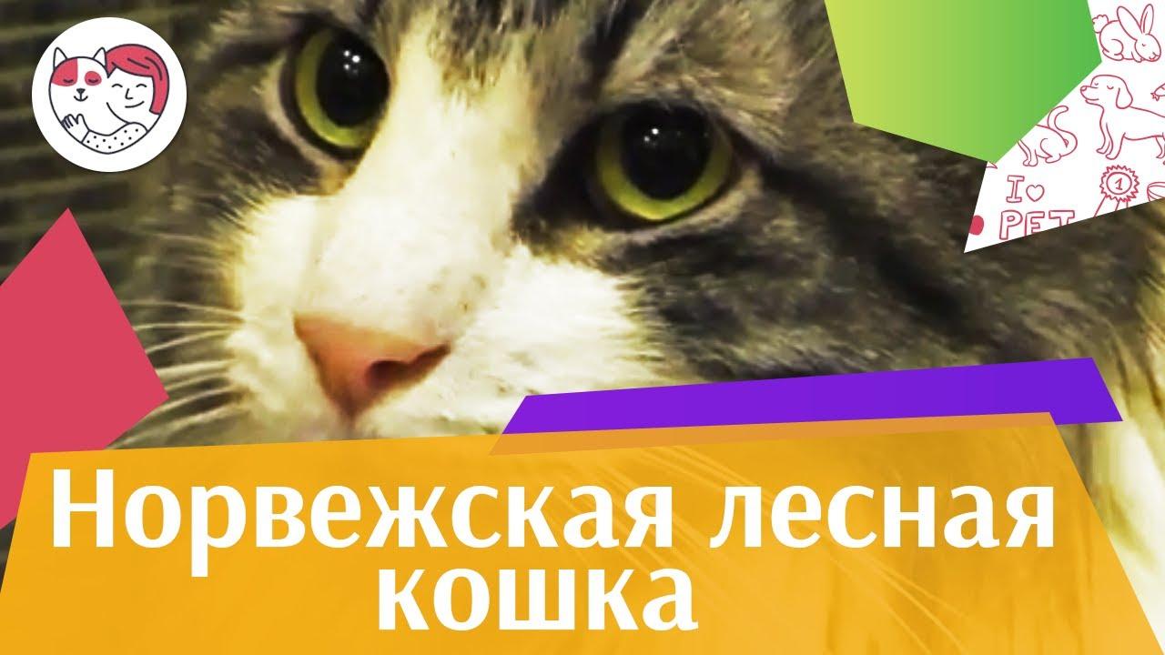 Норвежская лесная кошка. Особенности. Уход