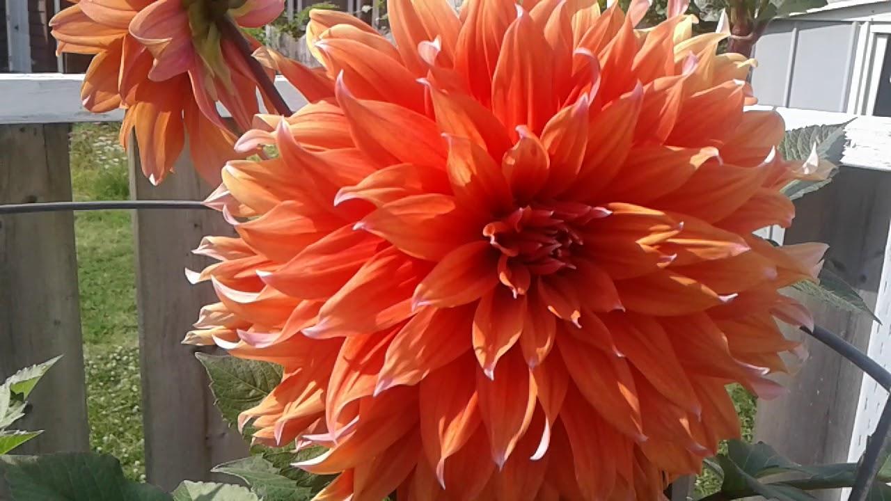 Dahlia color spectacle