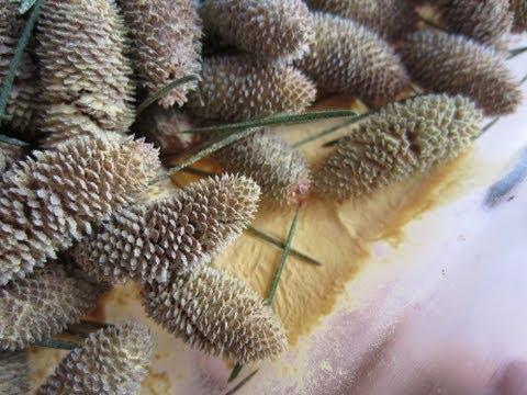 Edible Pollen from the Cedar Pine (Cedrus deodara)