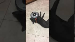 Смотреть онлайн Робот-пылесос мешает лежать собаке