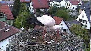 preview picture of video 'Störche in Markt Schwaben, Ablösung & Fütterung'